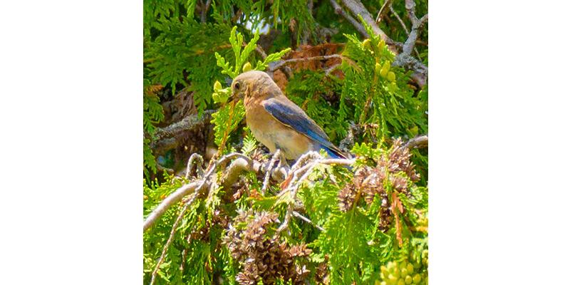 BLUEBIRD, the Nature Nut, Eastern Bluebird