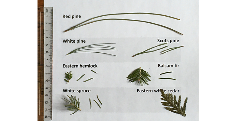 EVERGREEN identification, learn your trees, Uxbridge trees, the Nature Nut